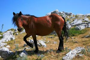 Koně na Biokovu